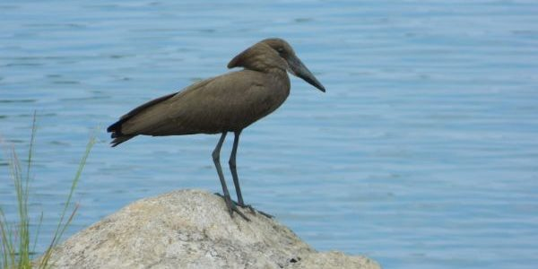 Spotted on neighbors roof: black hamerkop